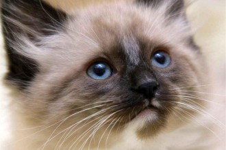 Beautiful Siamese Cat , 7 Nice Siamese Cats Pictures In Cat Category