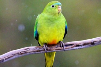 Bellied Parrot , 7 Lovely Orange Bellied Parrot In Birds Category