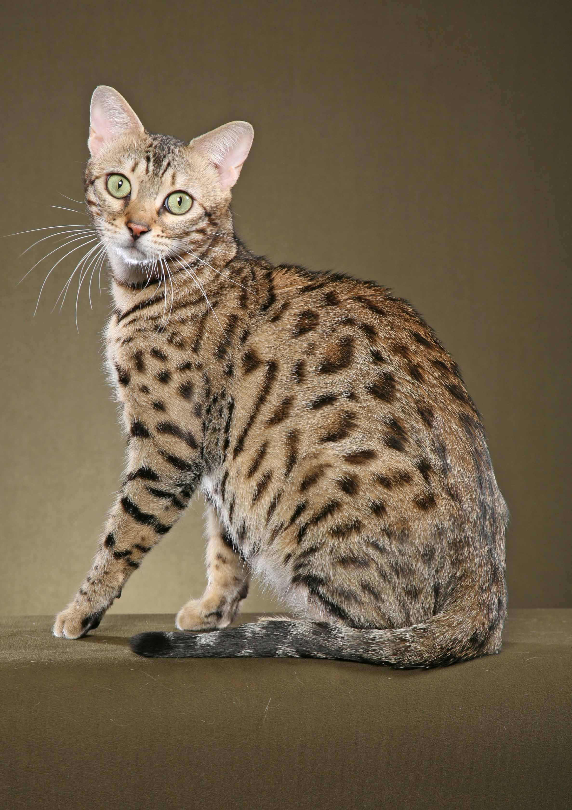 Bengal Cat Domestic : 7 Nice Bengal Cats Pictures | Biological ...