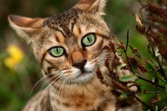 Bengal Cat Pictures , 7 Nice Bengal Cats Pictures In Cat Category