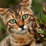 bengal cat pictures , 7 Charming Pictures Of Bengal Cats In Cat Category