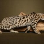 bengal cat desktop wallpaper. Info bengal cat wallpaper. Bengal cat is ... , 7 Charming Pictures Of Bengal Cats In Cat Category