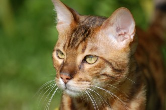 Bengal Cats , 7 Nice Bengal Cats Pictures In Cat Category