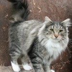bengal cats , 7 Stunning Norwegian Forest Cat Pictures In Cat Category