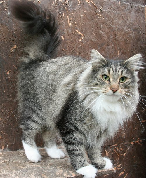 Cat , 7 Stunning Norwegian Forest Cat Pictures : Bengal Cats