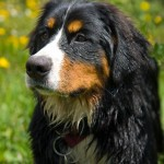 bernese mountain puppies , 5 Fabulous Pictures Of Bernese Mountain Dogs In Dog Category