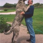 big dogs breeds list , 6 Gorgeous Big Dog Breeds List And Pictures In Dog Category