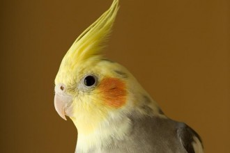 Bird Cockatiel , 7 Nice Cockatiel Prices In Birds Category