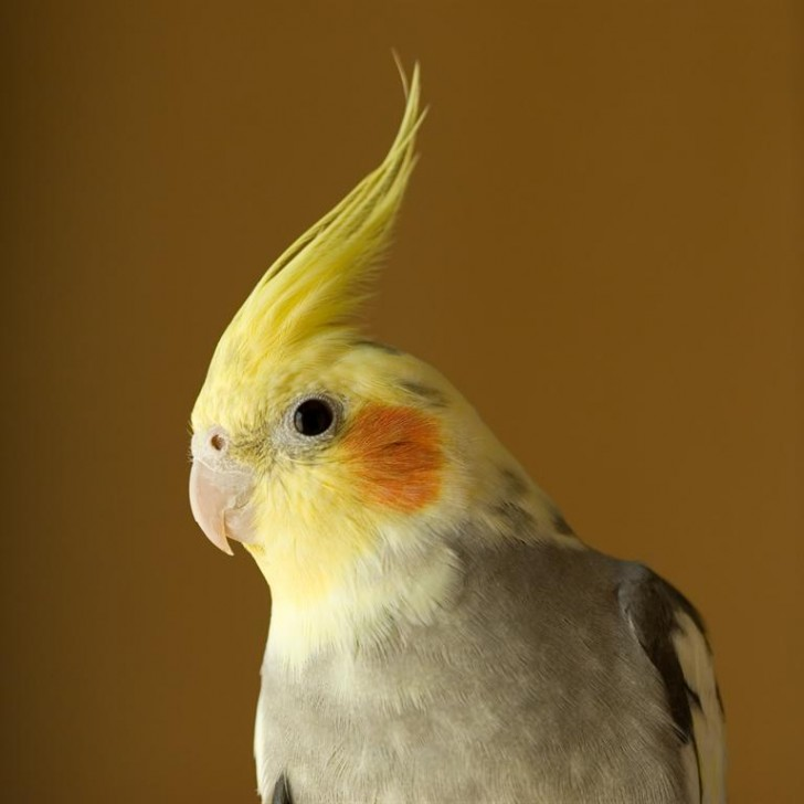 Birds , 7 Nice Cockatiel Prices : Bird Cockatiel