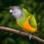 birds , 7 Beautiful Senegal Parrot In Birds Category