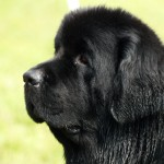 black newfoundland dog , 7  Lovely Pictures Of Newfoundland Dogs In Dog Category