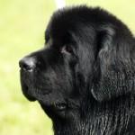 black newfoundland dog , 7  Lovely Pictures Of Newfoundland Dogs In Dog Category