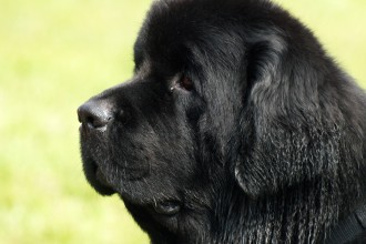 black newfoundland dog in Cat