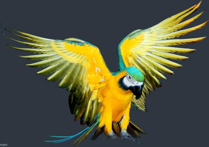 Birds , 8 Good Blue And Gold Macaws : Blue And Gold Macaw