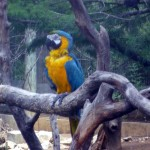 blue and gold macaw , 7 Charming Blue Macaw Facts In Birds Category