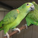 blue fronted parrot , 8 Nice Blue Fronted Amazon Parrot In Birds Category