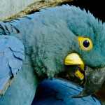 blue gold macaw , 7 Unique Lear S Macaw In Birds Category