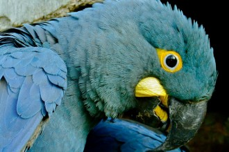 blue gold macaw in Dog