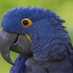 blue macaw bird , 7 Cool Hyacinth Macaws In Birds Category
