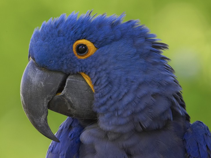 Birds , 7 Cool Hyacinth Macaws : Blue Macaw Bird