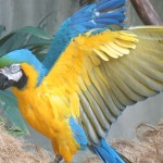 blue macaw bird , 8 Good Blue And Gold Macaws In Birds Category