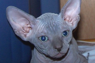 Blue Sphynx Cat , 7 Top Rated Pictures Of Sphynx Cats In Cat Category