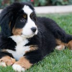 breeders dog , 5 Fabulous Pictures Of Bernese Mountain Dogs In Dog Category