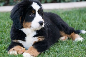 Dog , 5 Fabulous Pictures Of Bernese Mountain Dogs : breeders dog