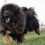 breeding dog , 6 Gorgeous Big Dog Breeds List And Pictures In Dog Category