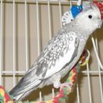 breeds of cockatiels , 7 Nice Types Of Cockatiels In Birds Category