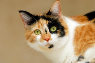Calico Tabby , 7 Gorgeous Calico Cats Pictures In Cat Category