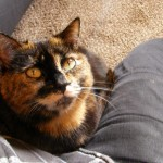 cat adoption , 6 Unique Pictures Of Tortoiseshell Cats In Cat Category