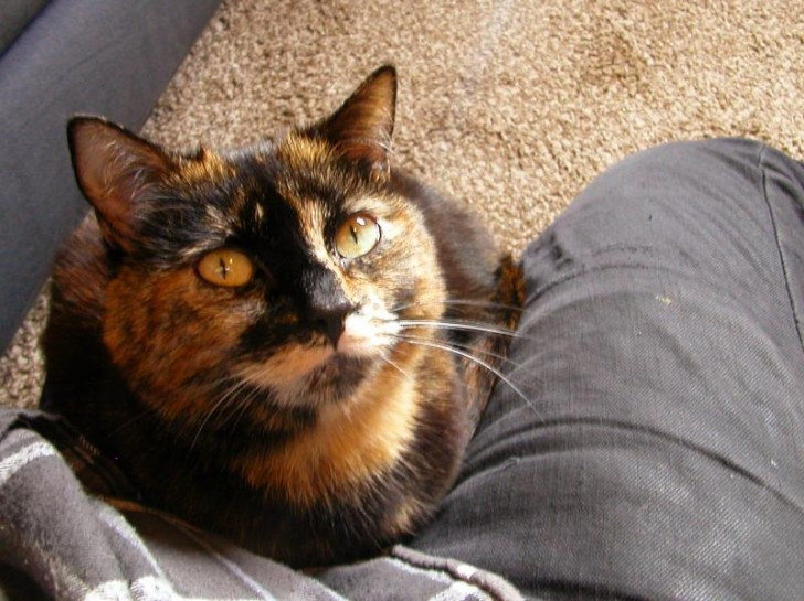 Cat , 6 Unique Pictures Of Tortoiseshell Cats : Cat Adoption