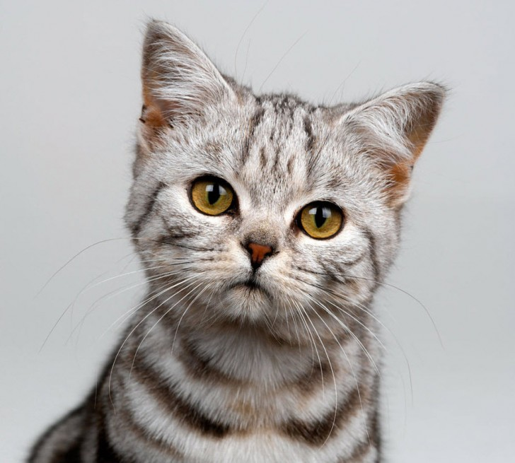 Cat , 8 Cute Cat Breeds Pictures : Cat Breeds
