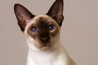 Cat Breeds , 6 Cute Pictures Of Siamese Cats In Cat Category