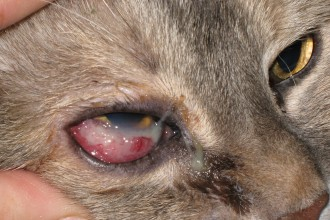 Cat Eye Infections , 7 Cat Eye Infection Pictures You Should Consider In Cat Category
