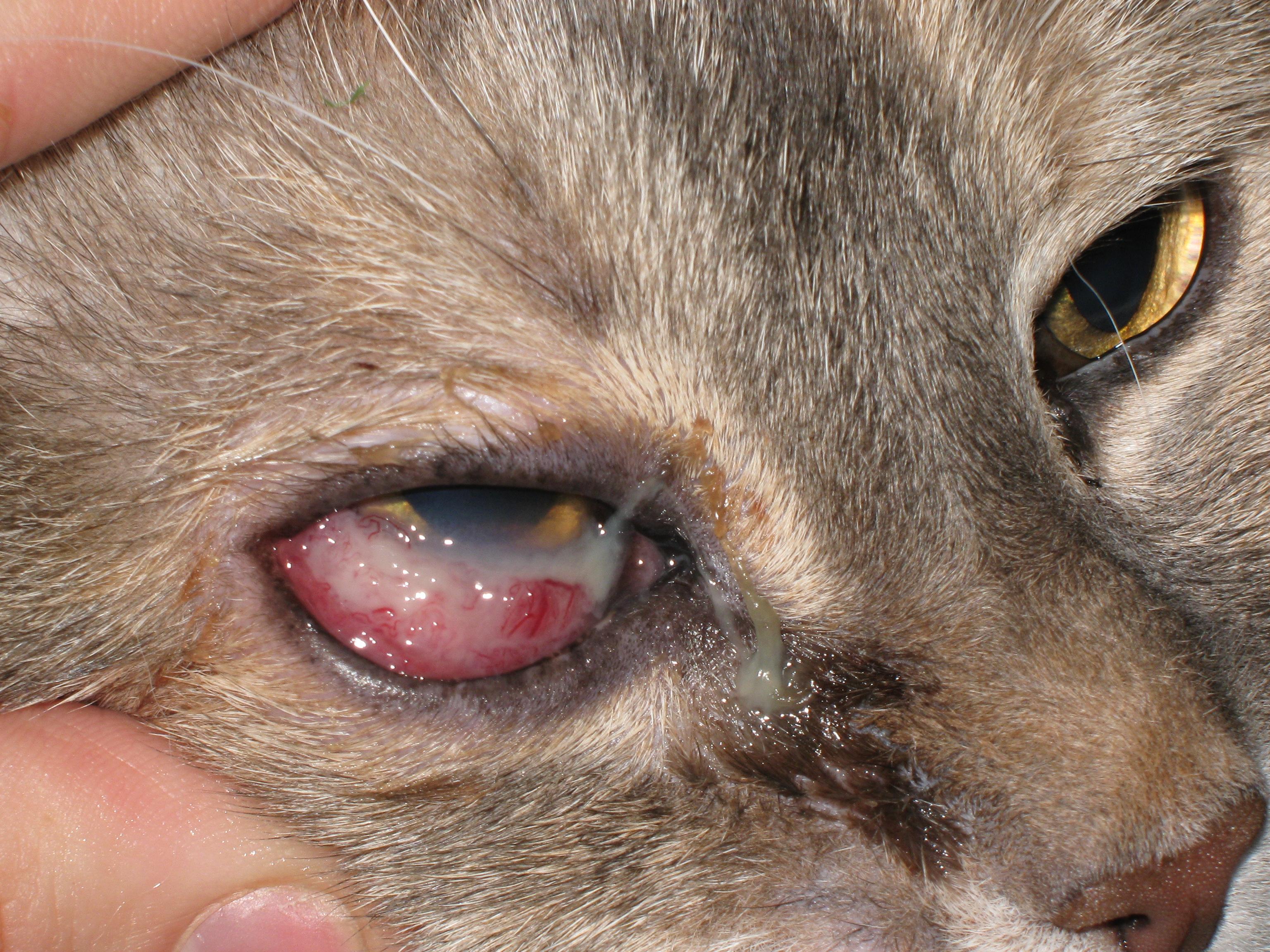 Как вылечить глаз у котенка в домашних условиях 213
