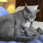 cat pictures , 7 Gorgeous Pictures Of Russian Blue Cats In Cat Category