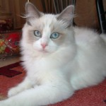 cat ragdoll , 6 Wonderful Pictures Of Ragdoll Cats In Cat Category
