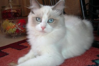 cat ragdoll in pisces