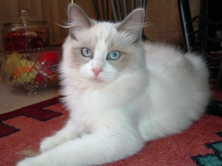 Cat , 6 Wonderful Pictures Of Ragdoll Cats : Cat Ragdoll