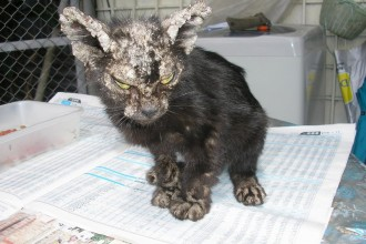 Cat Scabies , 5 Cat Mange Pictures To Consider In Cat Category