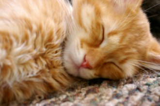 Cat Sleeping , 7 Awesome Pictures Of Orange Tabby Cats In Cat Category