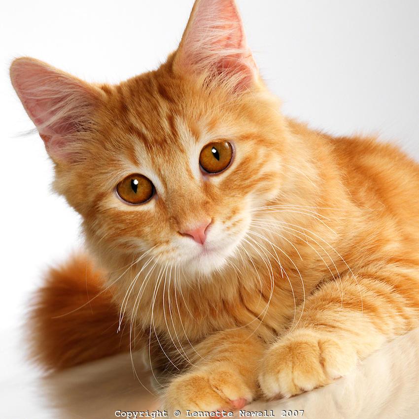 Blue Cat With Orange Eyes