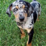 catahoula leopard dog , 7 Gorgeous Catahoula Dog Pictures In Dog Category