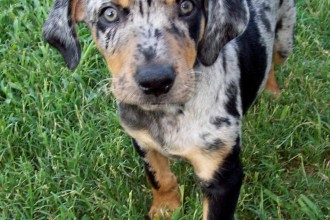 catahoula leopard dog in Cell
