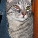 cats and eye infections , 7 Cat Eye Infection Pictures You Should Consider In Cat Category