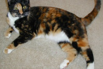 Cat , 6 Unique Pictures Of Tortoiseshell Cats : cats for free