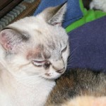 cats ringworm , 5 Charming Pictures Of Cats With Ringworm In Cat Category