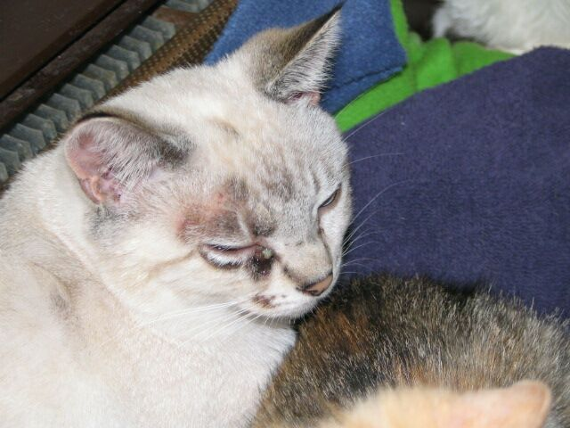 Cat , 6 Charming Ringworm In Cats Pictures : Cats Ringworm Pictures